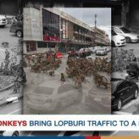 Warring monkeys bring Lopburi traffic to a standstill #SootinClaimon.Com